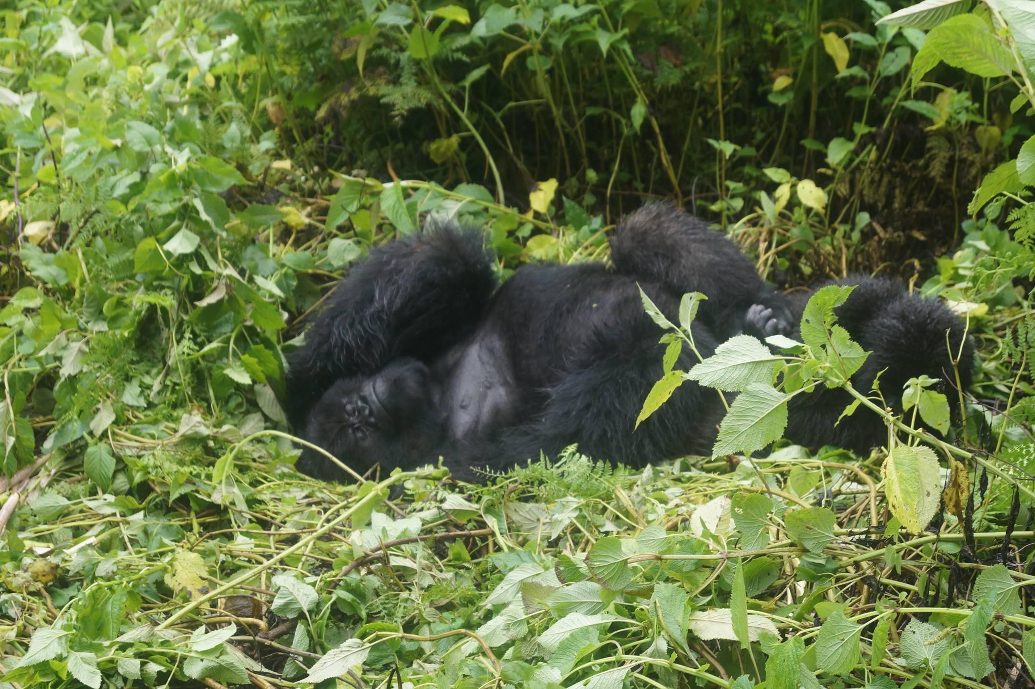 Berggorillas in Ruanda Silberrücken