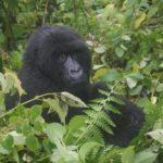 """Gorillas – die besseren """"Menschen"""""""